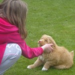 Ruby Toller pup