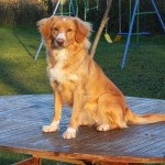 Nova Scotia Duck Tolling Retriever mum to be.