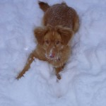 Lexi the toller enjoying the snow.
