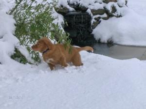 Chunky nova scotia duck tolling retriever puppy, Fingal.