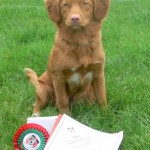 Nova Scotia Duck Tolling Retriever Fallowfen's Silver Cairn