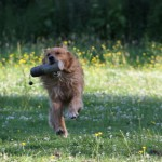 The father is a strong golden retriever with style and stamina.