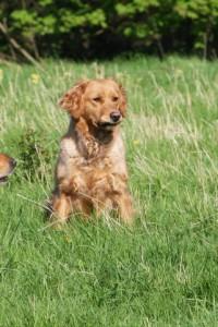 Bess is a working golden retriever.
