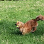 Our golden retriever bess retrieving