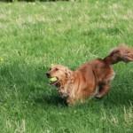 Our golden retriever bess retrieving