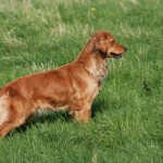 Bess our golden retriever is an expectant mother.