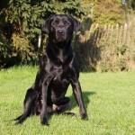 Labrador stud dog Calderhey Digger