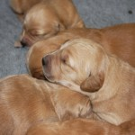 Goldie puppies 1 week old.