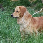 Dark Golden Retriever litter due in August.
