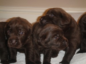 Chocolate labrador puppies.