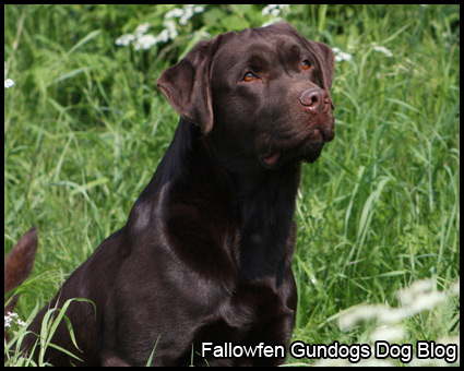 Casper Fallowfen Gundogs new Chocolate labrador Stud Dog