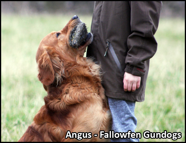 Angus Stud Dog Fallowfen